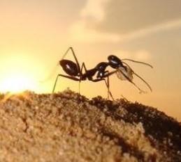 沙漠長腳蟻